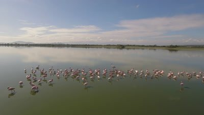 Move around greater and lesser flamingos in african lake, 4k Aerial