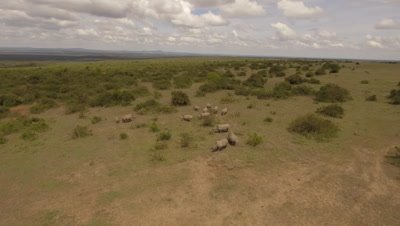 Move around white rhinos in green bushland, 4k Aerial