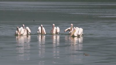 Group of pelicans synchronous fishing in african lake, HD slow motion 50fps