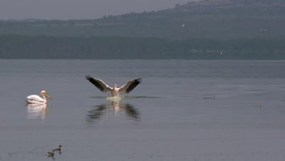 Pelican flies and lands in african lake, HD slow motion 50fps