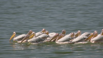 Group of pelicans synchronous fishing in african lake, UHD 4K