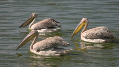 3 pelicans swimming in the morning light, medium  UHD 4K
