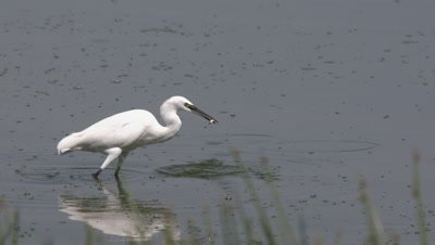 Egret catches fish in african lake, HD slow motion 50fps