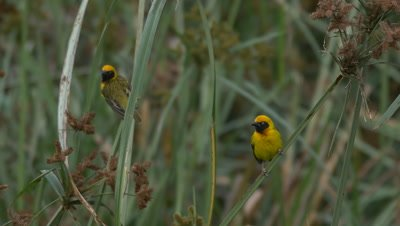 Village weaver birds sitting on gras, UHD 4K