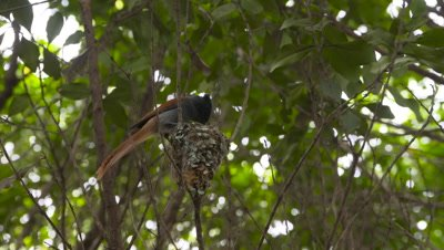 African paradise fly catcher guards nest on tree, UHD 4K