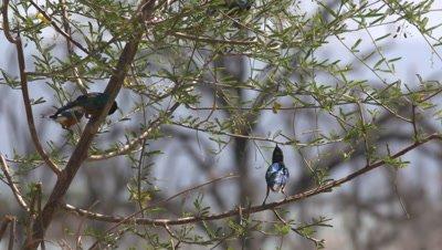 Group of starlings feed on tree, UHD 4K