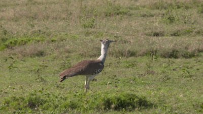 Kori bustard walking on green grassland, UHD 4k