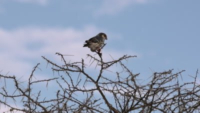 African pygmy falcon sits on tree in the wind and flies off, HD 150fps