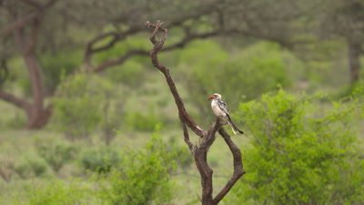 Northern Red-billed Hornbill sits on bush and flies off, UHD 4K