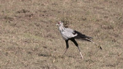 Secretary bird walks through savanna looking for prey, UHD 4K