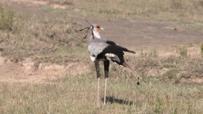 Secretary bird finds and eats small insect, UHD 4K
