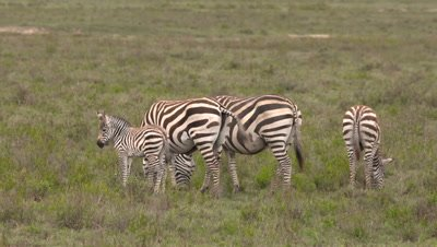 Common zebras with babies in green grasland, UHD 4K