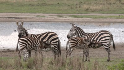 Common zebras with suckling babies, UHD 4K 50fps