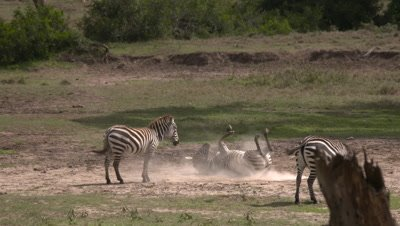 Common zebras having dustbath, UHD 4K 50fps