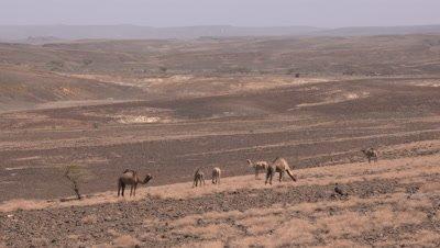 El Molo Village, camel herd, UHD 4K