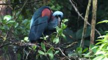 Heron, Possibly Agami Heron, Feeds Chick In Nest