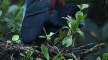 Heron, Possibly Agami Heron, Sits On Chick In Nest