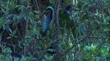 Close Up Agami Heron
