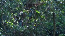 Agami Herons Roost In Tree