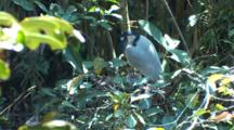 Boat-Billed Heron Stands Above Nest With Chick