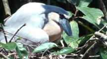 Boat-Billed Heron Sits On Nest