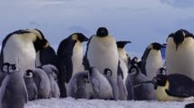 Emperor Penguins, Adults Huddle With Chicks