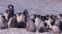 Emperor Penguins, Chicks