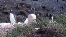 Gentoo Penguin Yawning