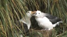 Black-Browed Albatross Adult Grooming Its Chick