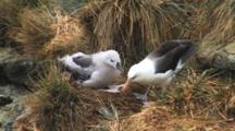 Black-Browed Albatross Chick Pestering Adult