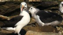 Black-Browed Albatross Adult Feeding Chick