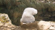 Black-Browed Albatross Chick Grooming