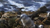 Black-Browed Albatross Chick On Nest Spreading Wings