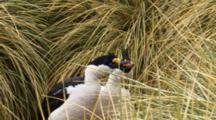 Imperial Shag Pair Nesting
