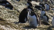 Rockhopper Penguin Colony Molting
