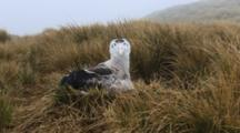 Wandering Albatross Chick On Nest