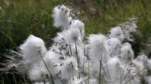 Cotton Grass, Eriophorum Scheuchzeri Moving In The Wind