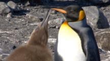 King Penguin Chick Begging Adult For Food