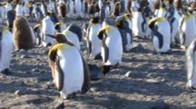 King Penguin Chick Walking Through Rookery