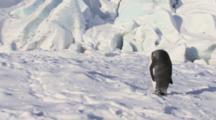 King Penguin Walking Over Snow