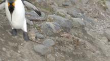 King Penguin Walking Over Rocks