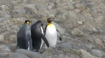King Penguins Walking Over Rocks