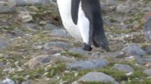 King Penguin Walking Over Rocks And Feathers