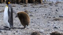 King Penguin Followed By Chick