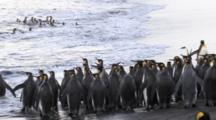 King Penguins Waiting The Waves, Entering Water