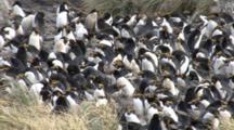 Macaroni Penguin Colony,