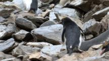 Macaroni Penguin Hopping Over Rocks