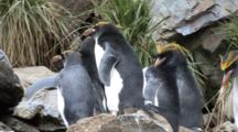 Macaroni Penguin On Rocks