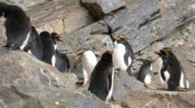 Macaroni Penguin Hopping On Rocks