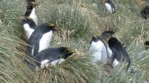 Macaroni Penguin Group Nesting In Tussock Grass